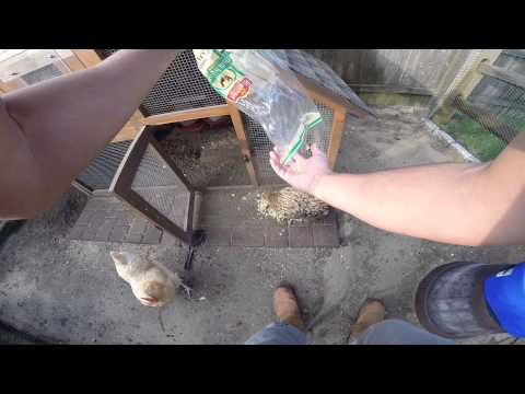 Urban Farm Life - Feeding my Chickens and Hens at the Jersey Shore Ocean County NJ