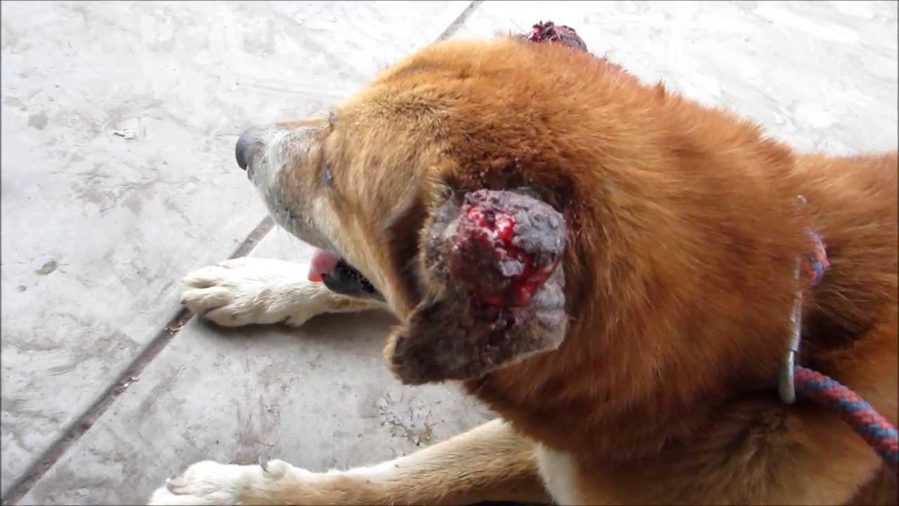 Resultado de imagen para perros cancer