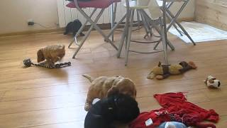 English Cocker Spaniel - Playing Puppies