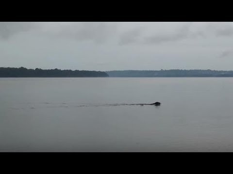 Rare Big Cat Swimming Across The Amazon River Is Simply Majestic To Watch