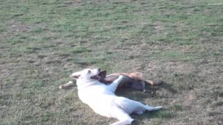 White German Shepherd Vs. Malinois | Dog Training Texas
