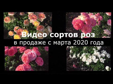 Вопрос: Как получена группа роз- грандифлора?