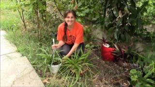 Почва для растения важна!  Хлорофитум и почва!