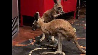 Kangaroos Huddle Around Heater