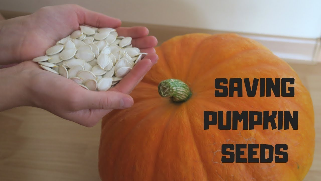 The Best Way How To Preserve Pumpkin Seeds For Planting