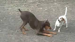 Doberman Taken Down By Dachshund Beagle Mix