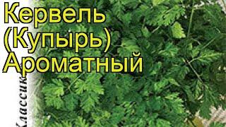 Кервель Ароматный. Краткий обзор, описание характеристик, где купить семена anthriscus cerefolium