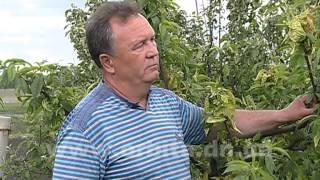 Как спасти персиковое дерево(Мы продолжаем получать письма от телезрителей. На этот раз вопрос от садоводов-любителей. В этом году многи..., 2014-05-22T11:25:46.000Z)