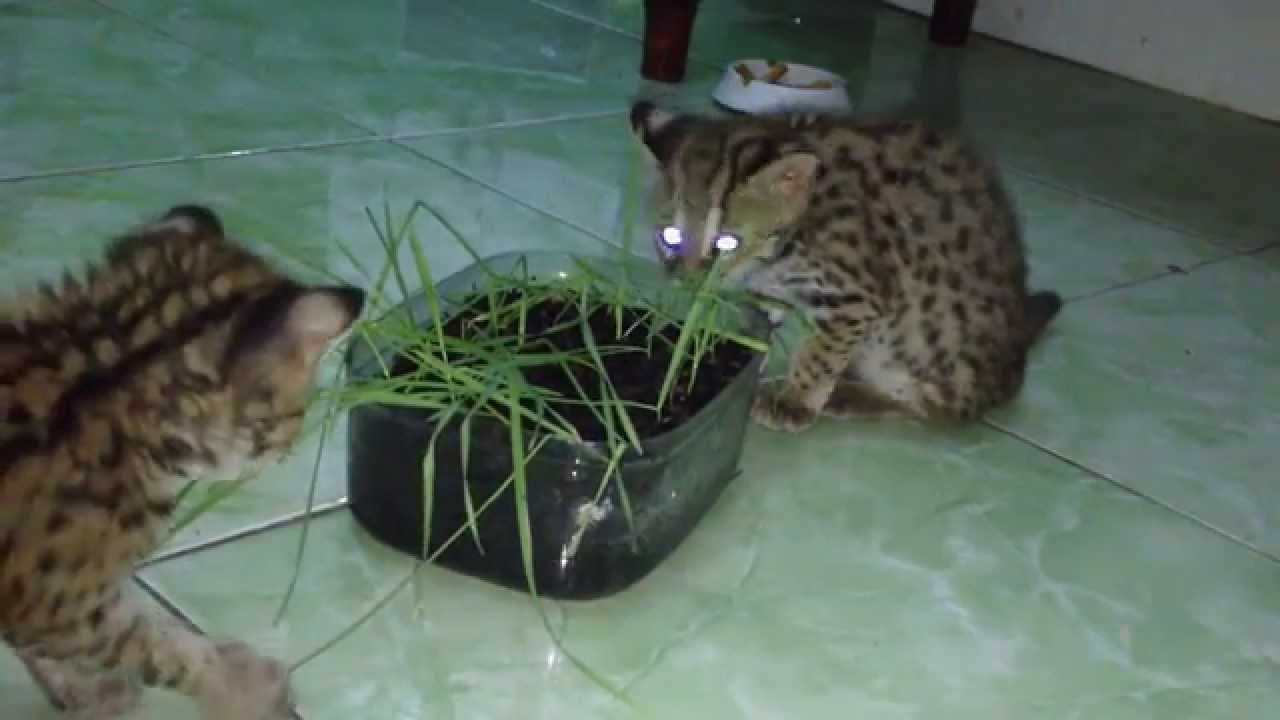 Kucing Hutan Makan Rumput Gandum 2 Youtube