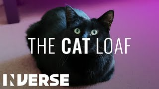 Why Cats Sit Like Loaves of Bread | Inverse