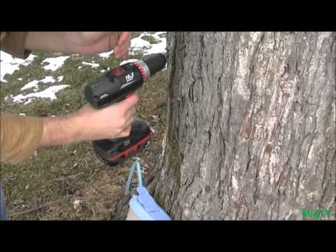 How to Tap A Maple Tree *CHEAP* & *EZ*
