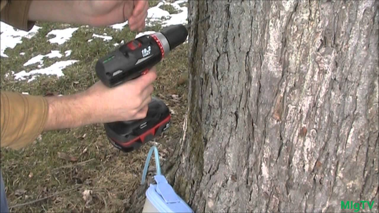 5772a71841f How to Tap A Maple Tree  CHEAP     EZ  - YouTube