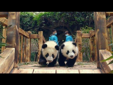 PANDAS (Official Trailer)