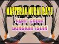Masteran Murai Batu Agar Cepat Bongkar Isian  Mp3 - Mp4 Download