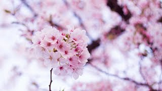 Composition with image of spring 春をイメージ。 Please subscribe to...
