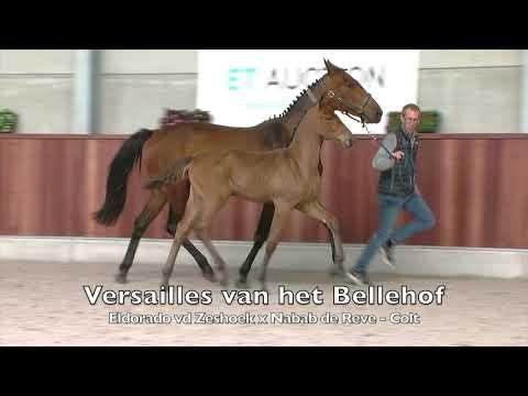 Versailles van het Bellehof (Eldorado vd Zeshoek x Nabab de Reve) - Stallion - 8-2-202