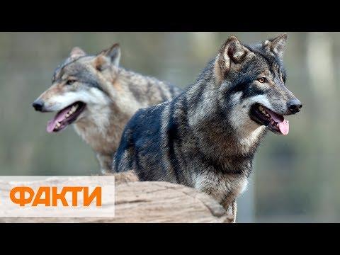 Выходят на охоту даже днем! На Винниччине волки атакуют села