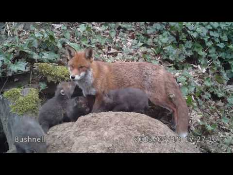 Fox Cubs And Vixen