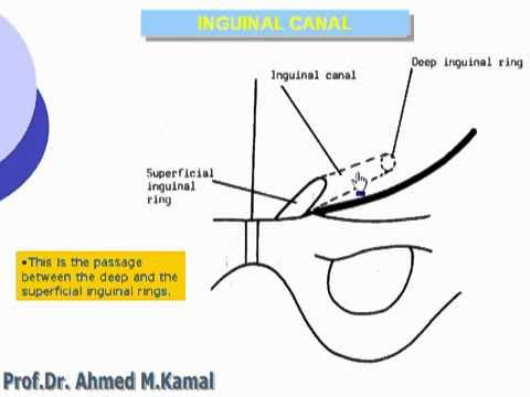 8  Abdomen   Inguinal canal الدكتور أحمد كمال cxt