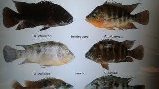 Skip explains the science behind different barred Midas species PT.3