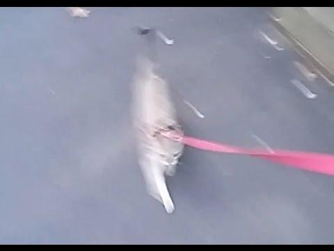 Baby Singapura Kitten, Lily *RUNS LAPS AROUND THE PARK ON LEASH!* *BAM!*