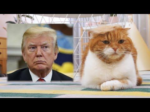 트럼프 가발 쓴 고양이 (노럼프)