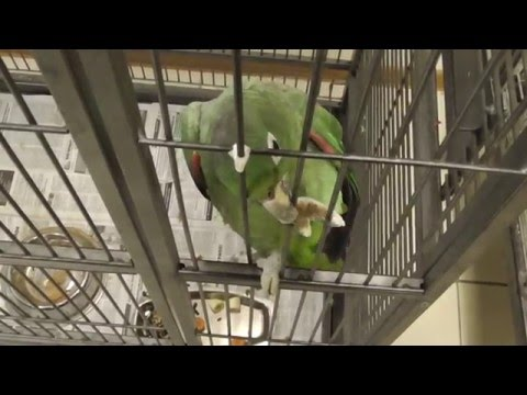 Большой зелёный попугай амазон Мюллера в неволе [Amazona farinosa]