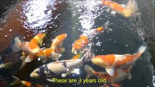 A Japanese Koi carp dealer near Manchester