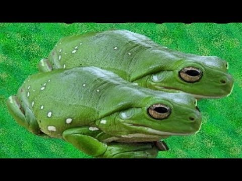 ▶️ FROGS SOUND EFFECTS. FROGS CROAKING. FROG SLEEP SOUNDS. 12 HOURS. 📢