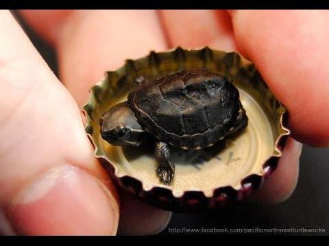 самая маленькая в мире черепаха фото