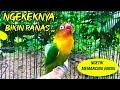 Pancingan Love Bird Ngetik Panjang Plus Ngekek Panjang Full Speed  Mp3 - Mp4 Download