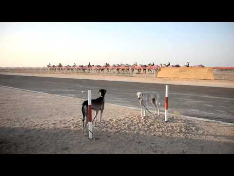 The sport of Saluki racing
