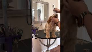 Grooming the Cocker Spaniel Puppy
