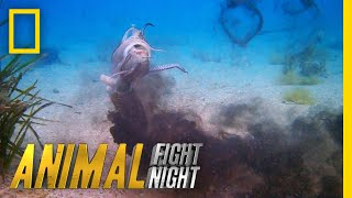 See the Cuttlefish's Incredible Offensive Strategy | Animal Fight Night