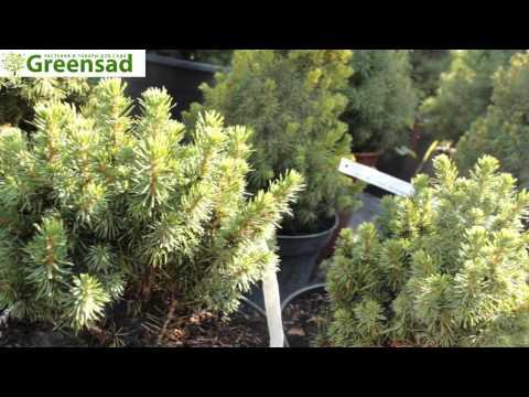 """Ель канадская """"Alberta Globe"""" - видео-обзор от Greensad"""