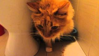 Цистит, мочекаменная болезнь у кота