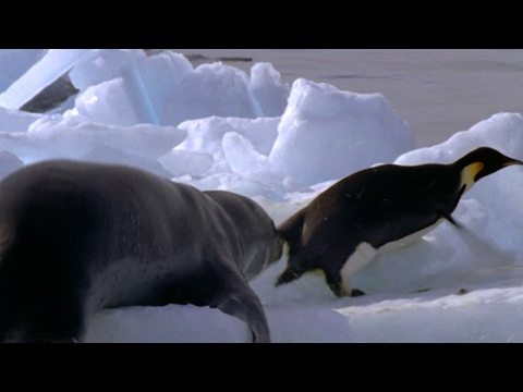 Leopard Seal Kills Emperor Penguin | Blue Planet | BBC Earth