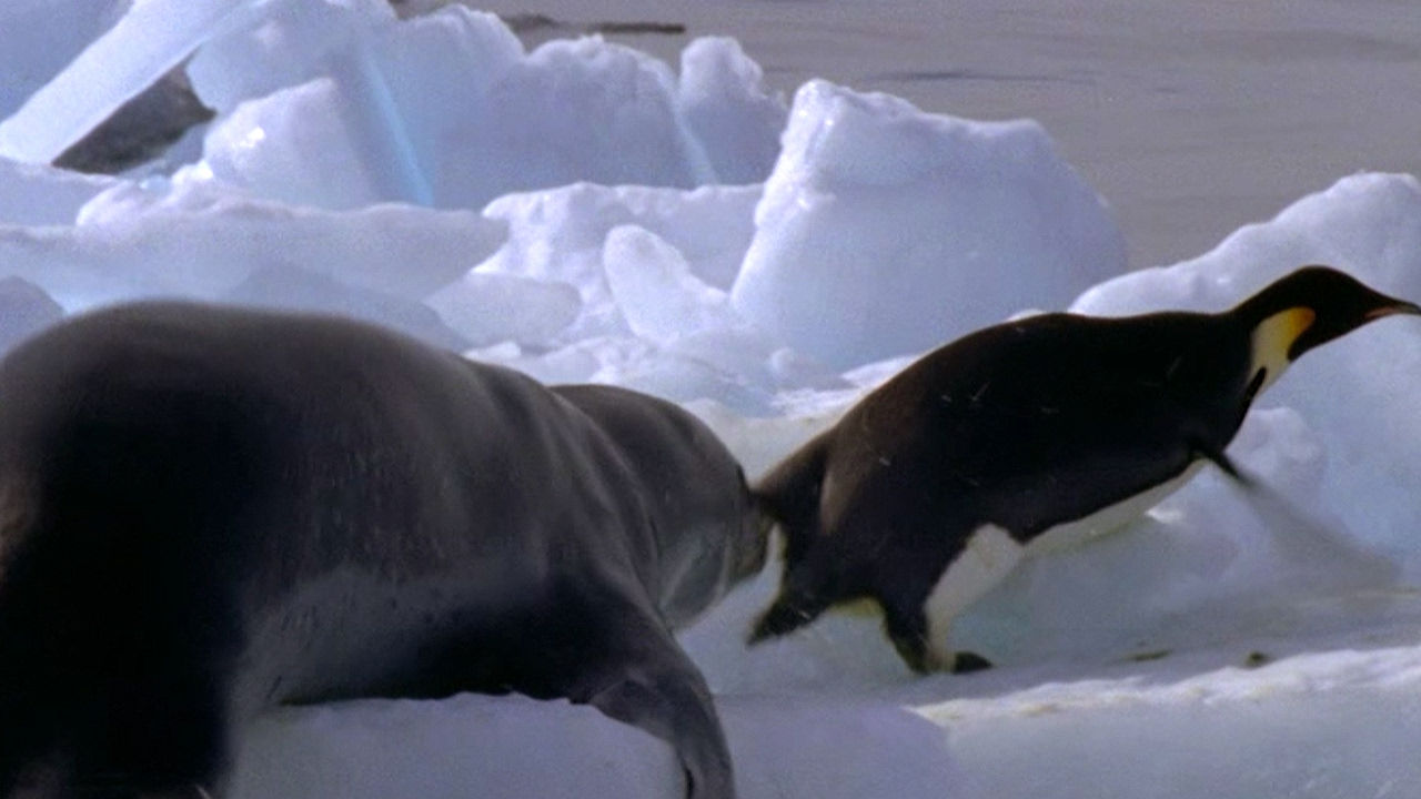 Leopard Seal Kills Emperor Penguin - Blue Planet - BBC ...
