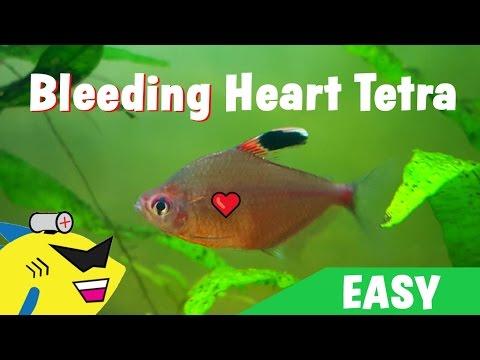 GREAT BEGINNER FISH: Bleeding Heart Tetra - Care Guide