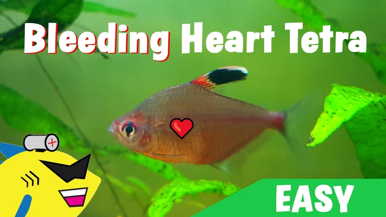 GREAT BEGINNER FISH: Bleeding Heart Tetra - Care Guide - YouTube