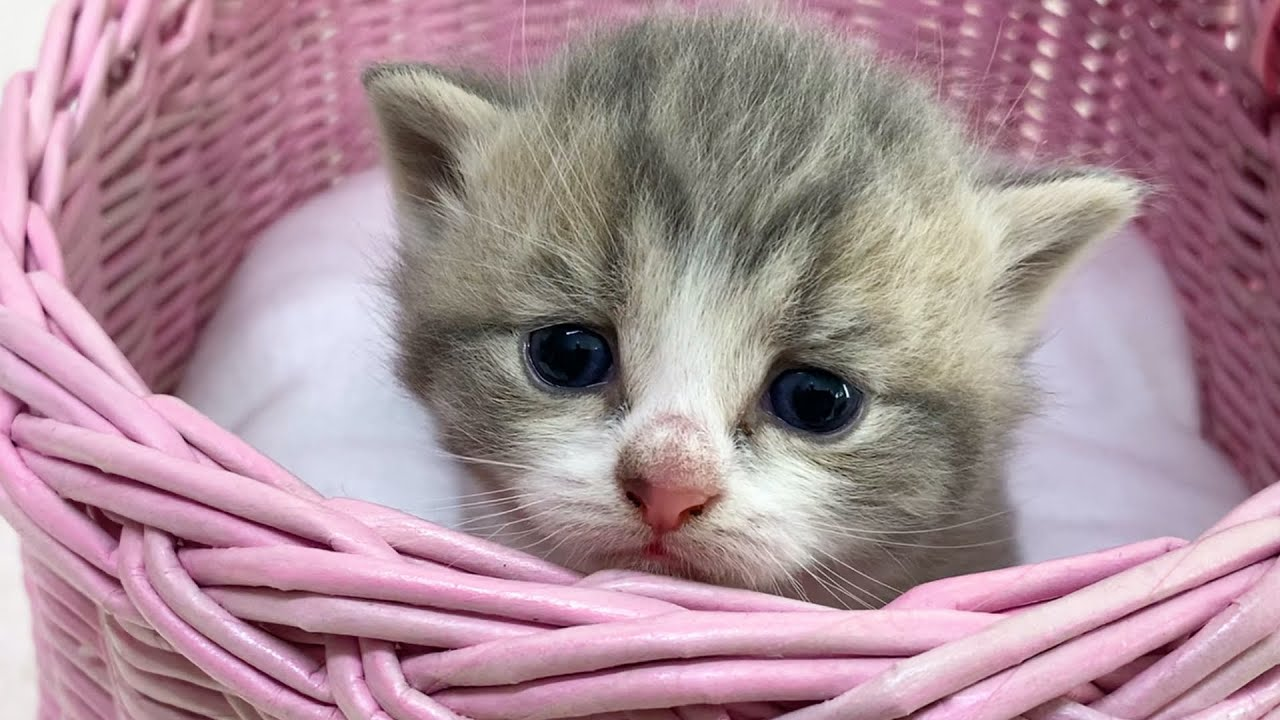 Baby Kitten meows in a basket / 14 days after birth very cute