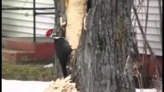 Woodpecker psihanul | Дятел психанул