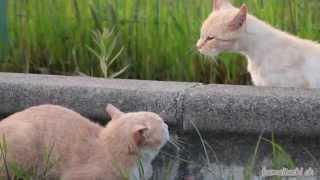 スゴミをきかせて威嚇する猫と、びびる猫の表情。 喧嘩が始まる瞬間映像...