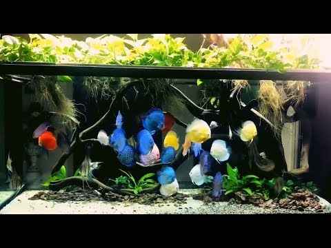 Gorgeous planted Discus Tank by Bạch Văn Tín (Vietnam) A new Video