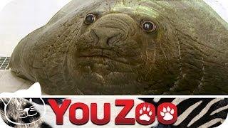Die Riesenrobbe - die größte Robbe der Welt │YouZoo