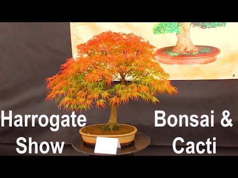 Amazing Bonsai & Cactus Displays :  Harrogate Autumn Flower Show 2017