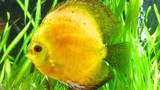 Мой аквариум Дискусы mp4(Мой аквариум, аквариум для начинающих, уход за аквариумом, аквариумные рыбки, дискус, аквариумистика Аквари..., 2015-07-31T07:32:59.000Z)