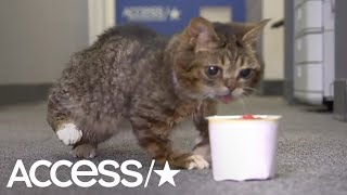 Lil Bub Is The Cutest Kitty You'll See Today! | Access