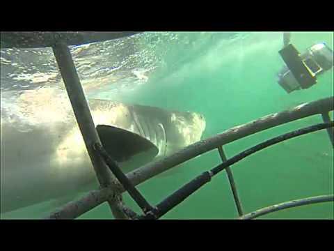 Haifisch attackiert in Gansbaai und beißt in den Käfig