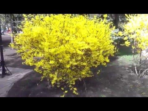 Слишком яркий жёлтый куст    Too bright yellow bush